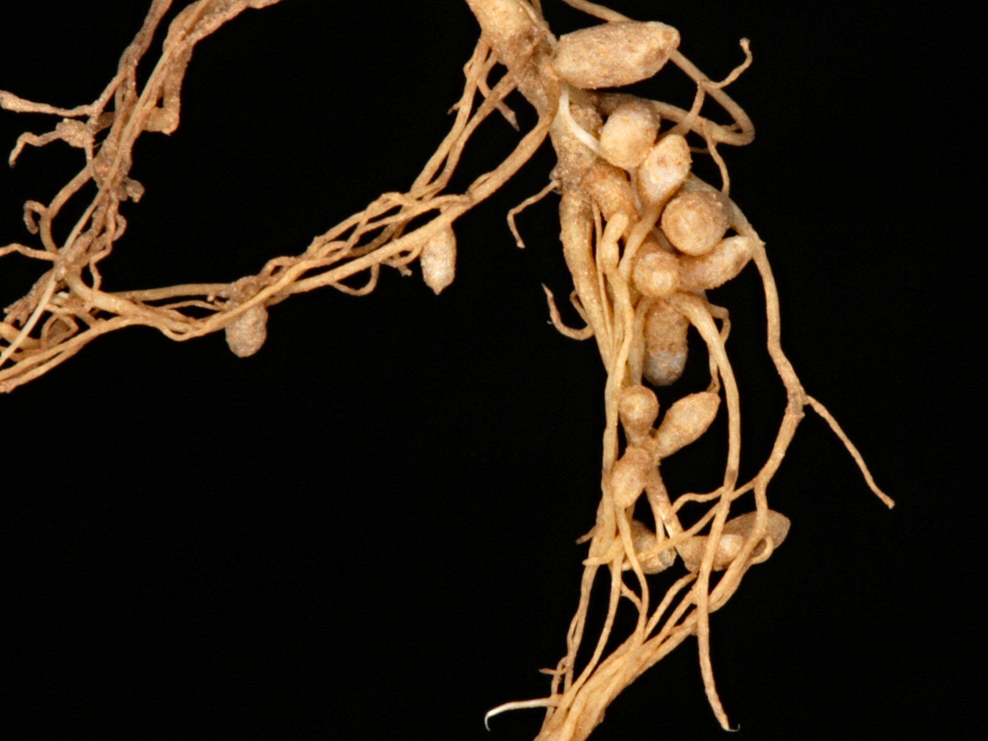 Nitrogen-fixing nodules in clover